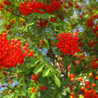 Autumn rowberries ashberry. Sorbus aucuparia — Stock Photo #32038747