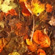 Colorful autumn leaves as background — Stock Photo