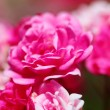 Bush of pink roses outdoor — Stock Photo #32039157