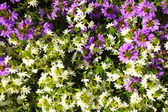 Violet white flowers in the garden shined at sun — Stock Photo