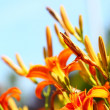 Orange lilly flower lilies outdoor — Stock Photo