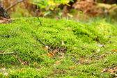 моховые подлесок в осеннем лесу — Стоковое фото