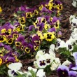 Assortment of pansies. Flowers background pansy. — Stock Photo