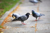 Hungry pigeons eating bread in the street — Foto Stock