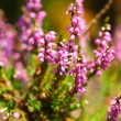 Blossoming heather in the summer — Stock Photo