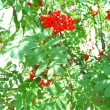 Stock Photo: Autumn rowberries ashberry. Sorbus aucuparia
