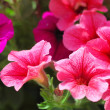 Pink petunia flower plants in the garden. — Stock Photo