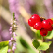 Wild inedible red berries cornus suecica — Stockfoto