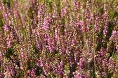 Blommande ljung sommaren — Stockfoto