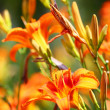 Orange Lilly Blume Lilien im freien — Stockfoto