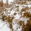 Green tree coniferous covered by snow, winter time — Stock Photo #35086547