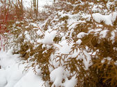Green tree coniferous covered by snow, winter time — Stock Photo