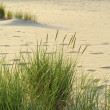Sea grass on the coast of the Baltic Sea — Stock Photo