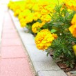 Yellow flowers in the garden. Marigold tagetes — Stock Photo