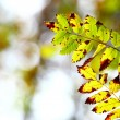 Autumn leaves in forest blurred background — Stock Photo