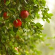 Red apple growing on tree. Natural products. — Foto de Stock