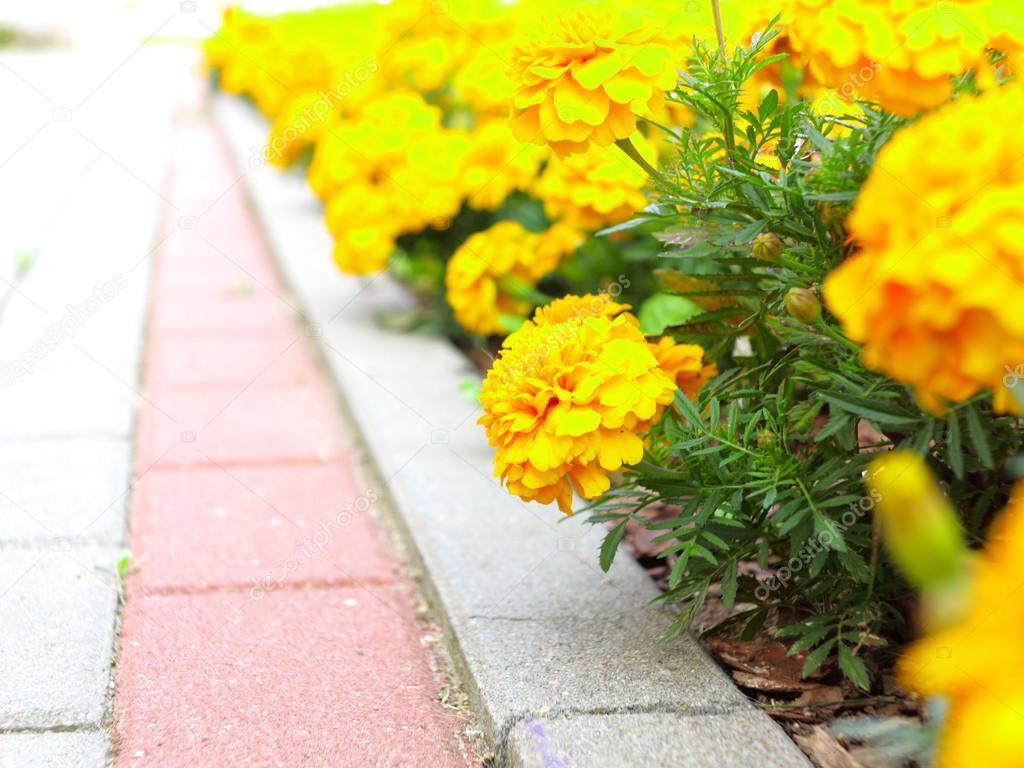 jardim rosas amarelas : jardim rosas amarelas:Flores amarelas no jardim. tagetes calêndula — Fotografias de Stock