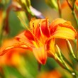 Orange lilly flower lilies outdoor — ストック写真