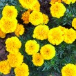 Yellow flowers in the garden. Marigold tagetes — Photo