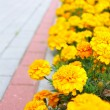 Yellow flowers in the garden. Marigold tagetes — Stock Photo #36237211