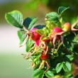 Wild rose hips on bush — Stock Photo #36739115