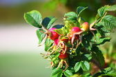 Wild rose hips on the bush — Stock Photo