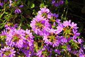 Violet flowers in the garden shined at sun — Stock Photo