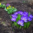 First spring flowers purple crocuses. — Stock Photo