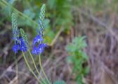 Closeup meadow blue flowers. Wildflower in forest. Nature. — Stock Photo
