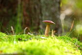 Forest mushroom bay bolete in a green moss — Stock Photo