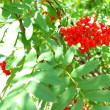 Autumn rowberries ashberry. Sorbus aucuparia — Stock Photo #37203117