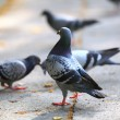 Hungry pigeons eating bread in the street — Stock Photo