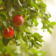 Red apple growing on tree. Natural products. — Stock Photo #37610249