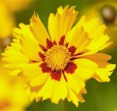 Yellow flowers in the garden shined at sun — Stock Photo