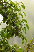 Purple plum growing on tree. Natural products. — Fotografia Stock