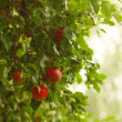 Red apple growing on tree. Natural products. — Stock Photo