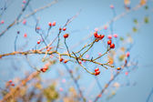 Red hawthorn berries, healthy wild fruits, blue sky — Stock Photo
