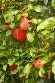 Mela rossa che cresce su un albero. prodotti naturali. — Foto Stock