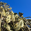 Pussy willow branches with catkins blue sky — Stock Photo