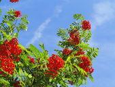 Autumn rowan berries ashberry. Sorbus aucuparia — Stock Photo