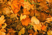 Orange autumn leaves as natural fall background — Stock Photo