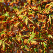 Stock Photo: Bright autumn leaves horse chestnut tree