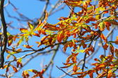 Bright autumn leaves horse chestnut tree — Stock Photo