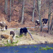Foto Stock: Herd of dairy cows farm animals on river bank or lake shore