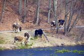 Herd of dairy cows farm animals on the river bank or lake shore — Stock Photo