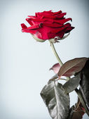 Closeup of blossoming red rose flower on gray — Stock Photo