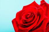 Detail květu červené růže květ na modré — Stock fotografie