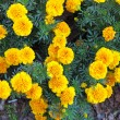 Yellow flowers in the garden. Marigold tagetes — Stock Photo #45129137