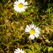 First signs of spring. Daisies flowers in grass. — Stock Photo