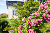 Bloosoming pink flowers of hawthorn tree — Stock Photo